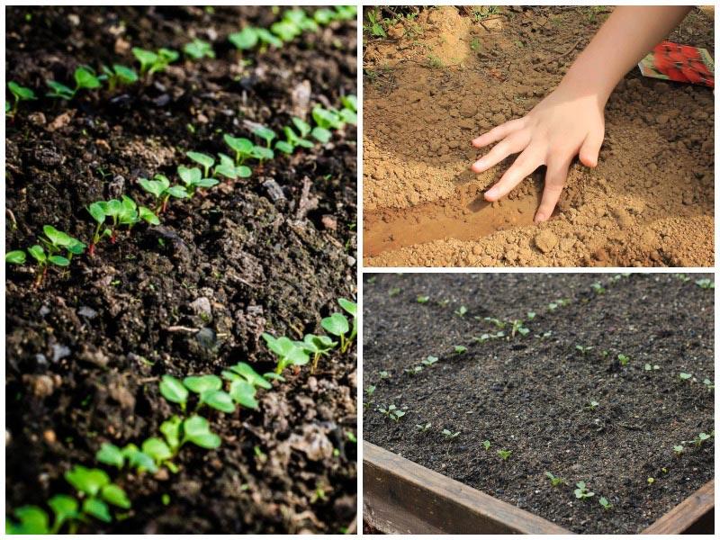 Как сажать свеклу - секреты хорошего урожая