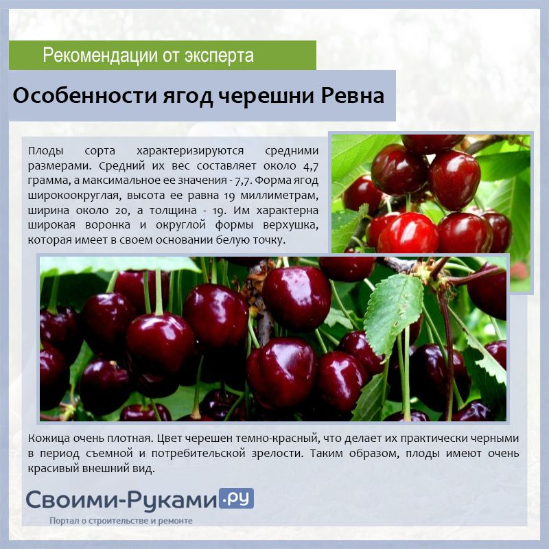 12 лучших сортов вишни для подмосковья - самоплодные и сладкие, какой лучше посадить