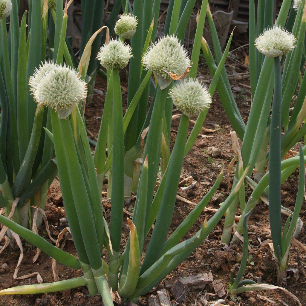 Многолетний лук на зелень: сорта и описание, фото, отзывы
