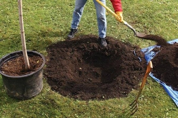 Как пересадить яблоню на другое место, когда лучше – весной или осенью
