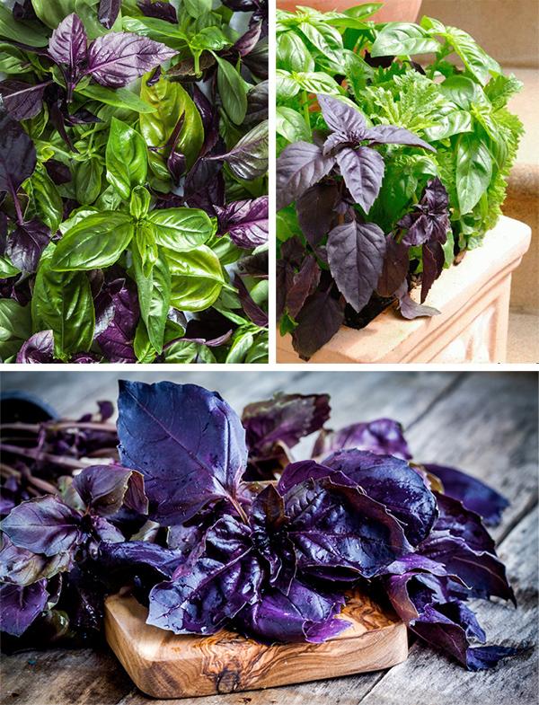 Базилик: фото, полезные свойства и противопоказания фиолетового и зеленого