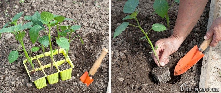 Физалис (ананасовый, земляничный, на рассаду): выращивание и уход, что это такое, как растет?