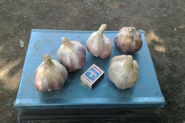 Лук суворова — описание, полезные свойства, выращивание