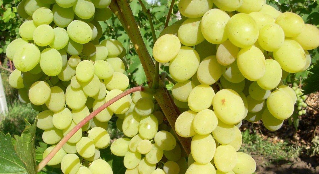 """Виноград """"шардоне"""": описание биологических особенностей одного из самых популярных сортов винограда в мире"""