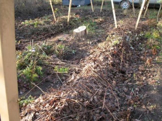 Как сохранить хризантемы зимой?