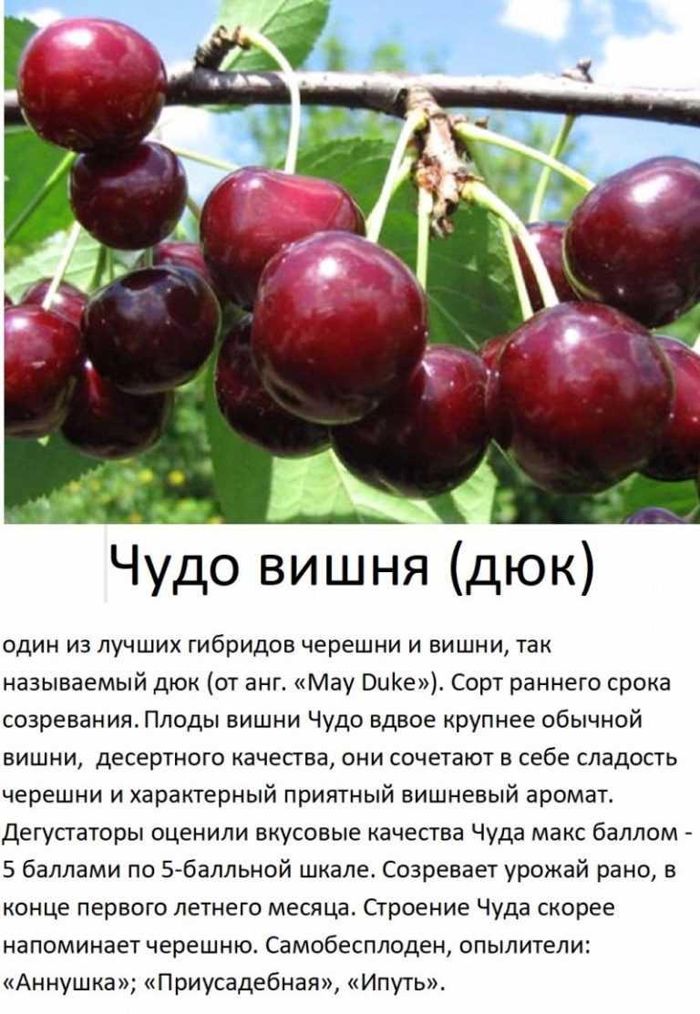 Черешня ленинградская: отзывы, фото, описание сорта, посадка и уход, выращивание, морозостойкость, опылители, вкусовые качества, урожайность