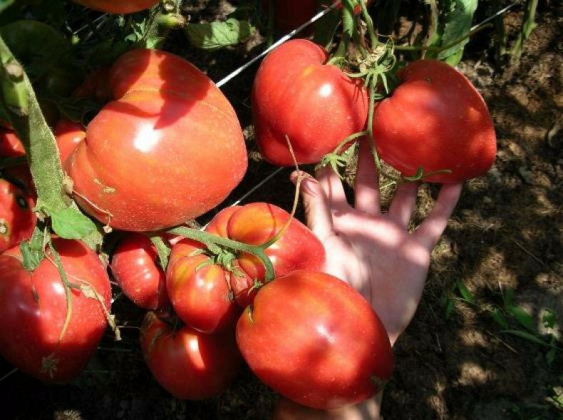 "Томат ""чудо рынка"": описание сорта, характеристики и фото помидора русский фермер"