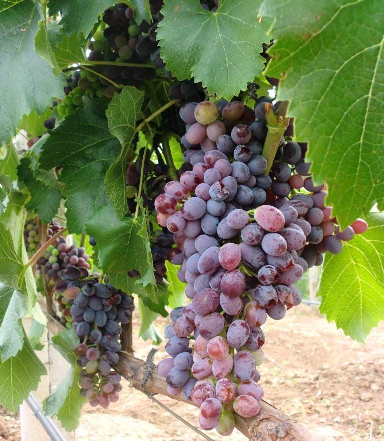 Виноград юпитер - харктеристика сорта. история появления.