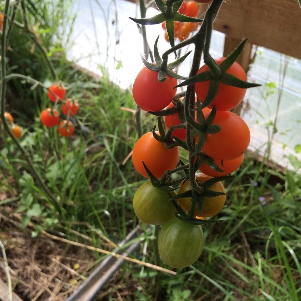 Томат финик красный f1: отзывы об урожайности, характеристика и описание сорта желтого и алого видов, фото