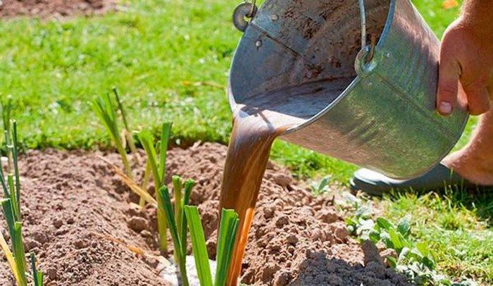 Удобрение для чеснока - чем подкормить для хорошего урожая?