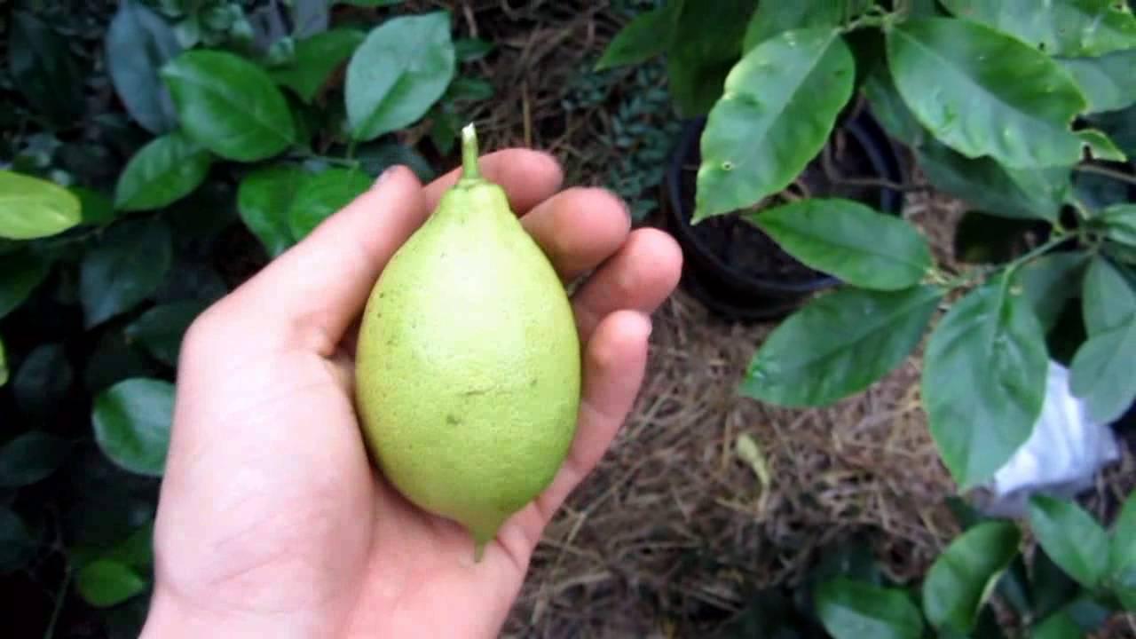 Выращивание комнатного лимона в домашних условиях и уход за ним