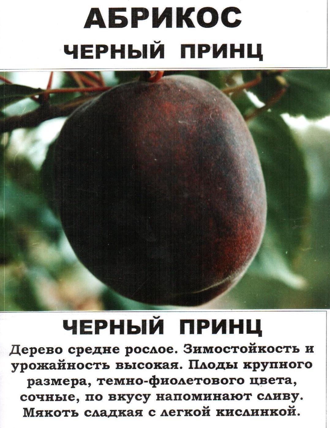 Черный абрикос черный принц: как вырастить экзотический фрукт