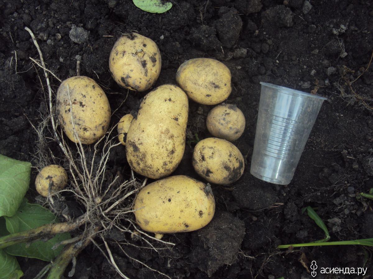 Картофель зекура: описание сорта, фото