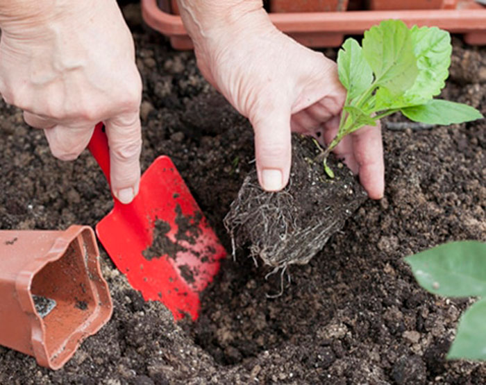 Астры: посадка и уход, выращивание из семян, виды и сорта, фото