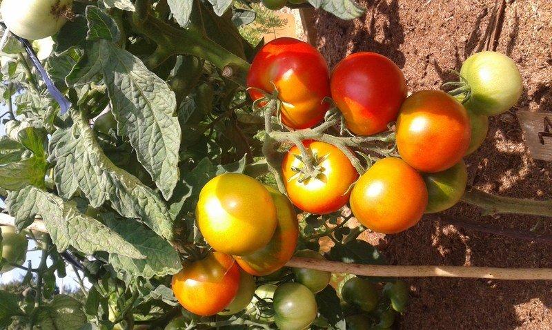 Лучшие сорта томатов для подмосковья для открытого грунта и теплиц