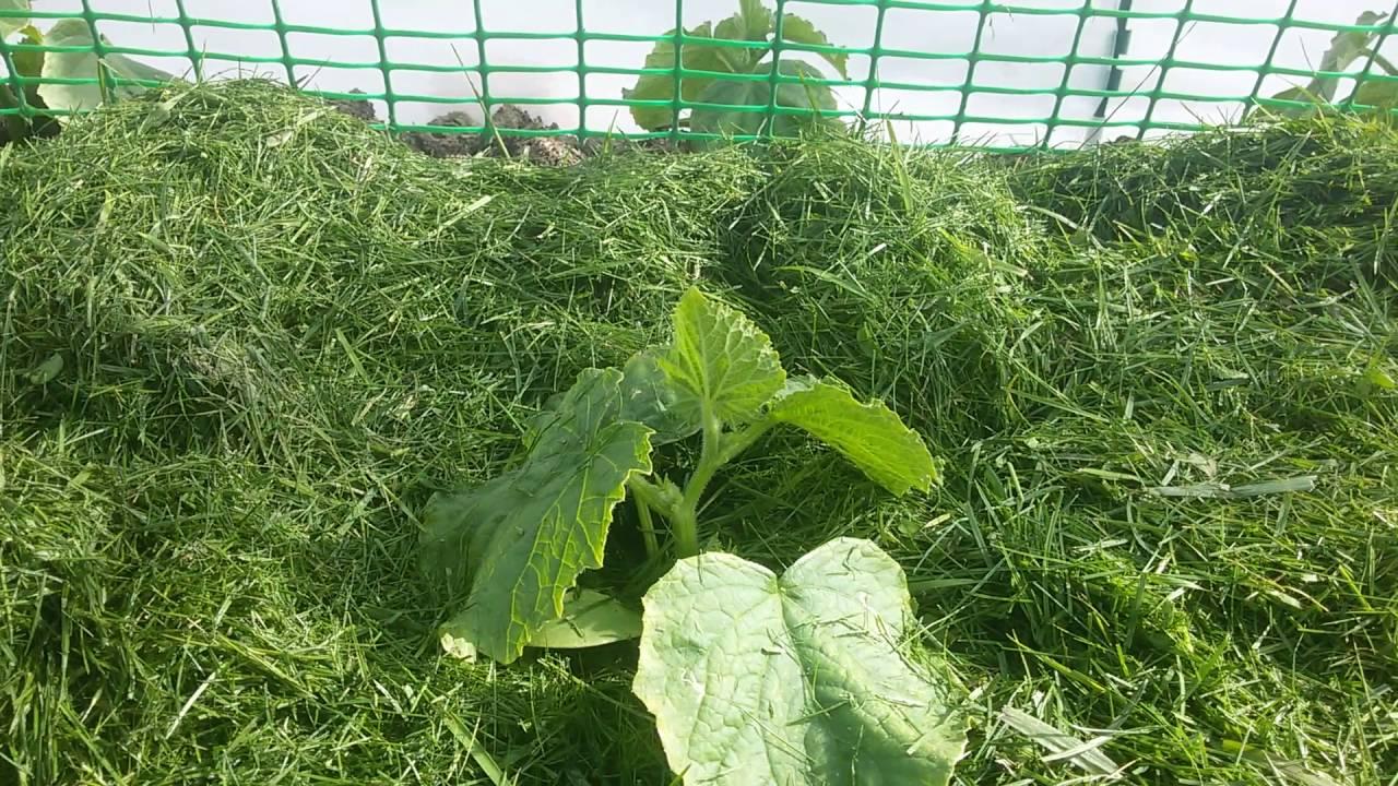 Мульчирование перцев в теплице и грунте скошенной травой и опилками
