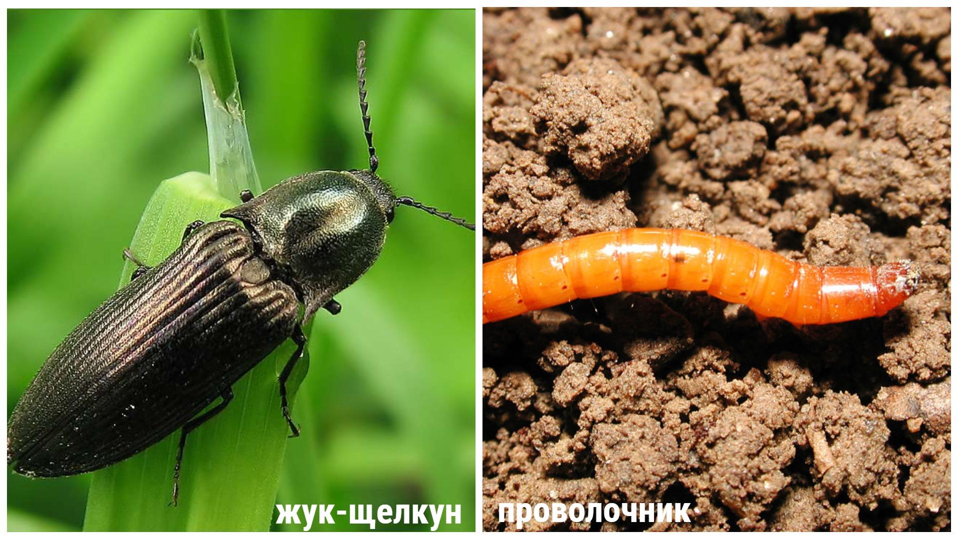 Как избавиться от жука щелкуна: народные средства и химические средства
