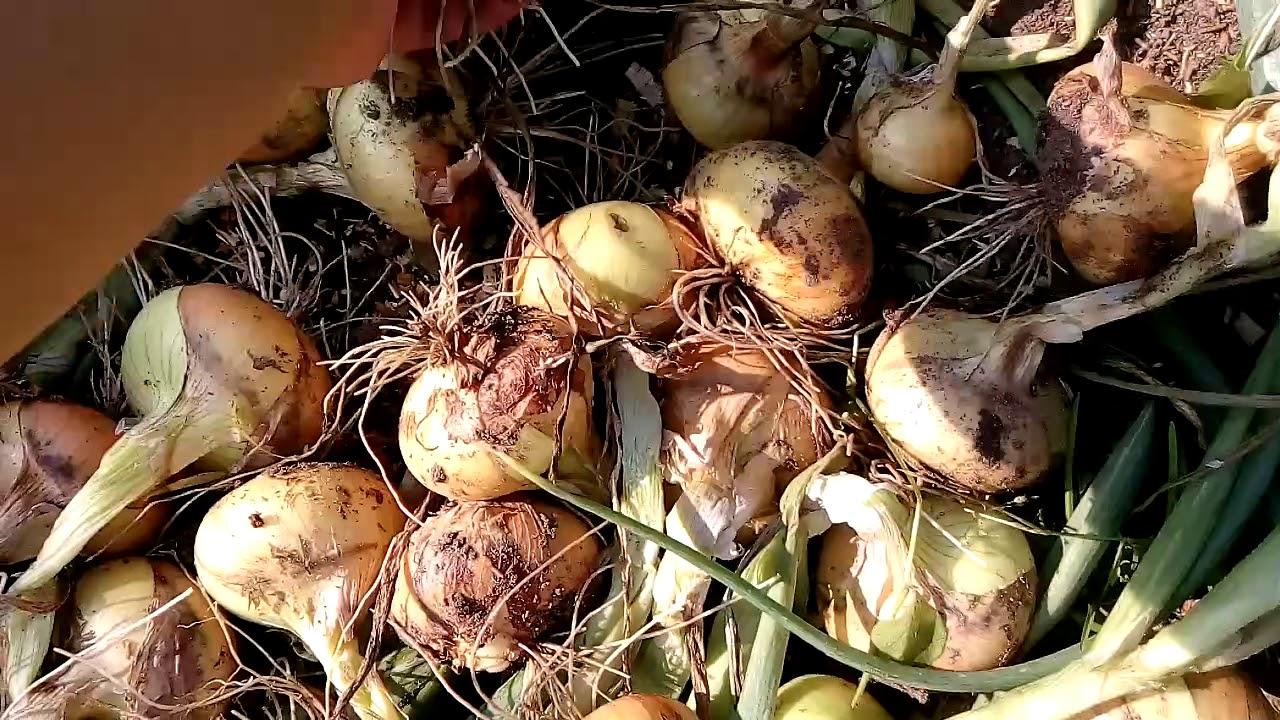 Когда и как убирать лук с грядки на хранение в 2019 году по лунному календарю и подготовить к хранению?  