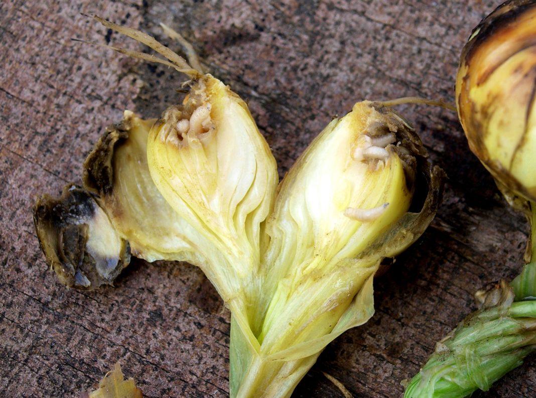 Как избавиться от луковой мухи на грядке: чем полить лук - средства для обработки