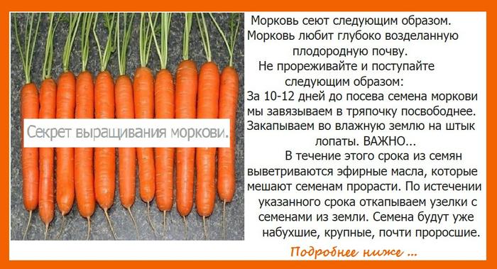 Как правильно проредить морковь своими руками