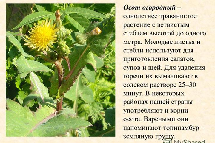 Полезные свойства и вред осота огородного, противопоказания и применение