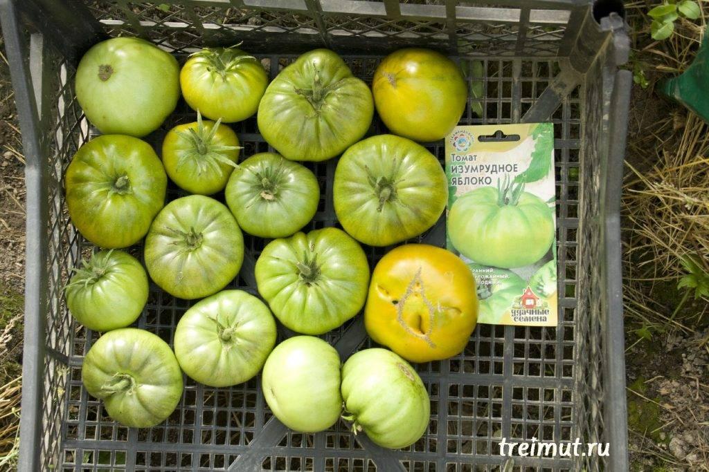 Томат изумрудное яблоко: характеристика и описание гибридного сорта с фото