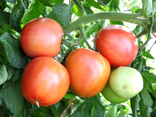 Сортовая характеристика томата малиновка