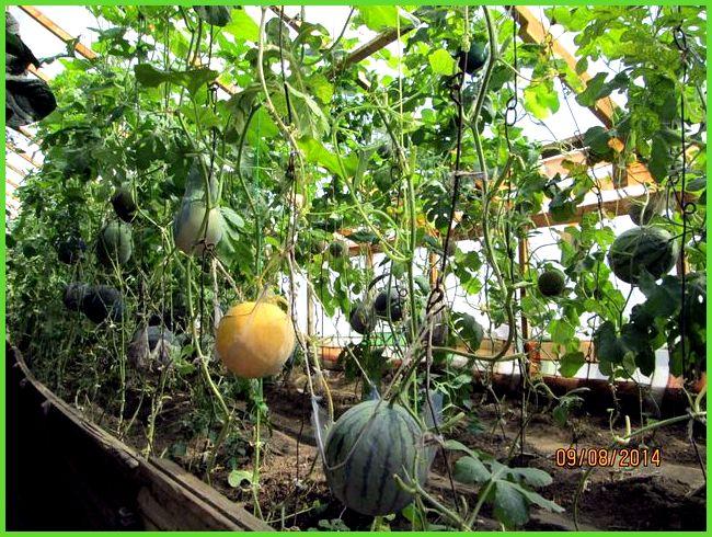 Особенности выращивания дыни в сибири в открытом грунте