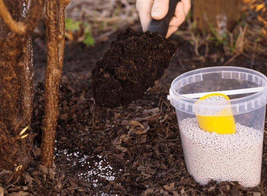 Выращивание стевии в средней полосе: посадка, уход, подкормки