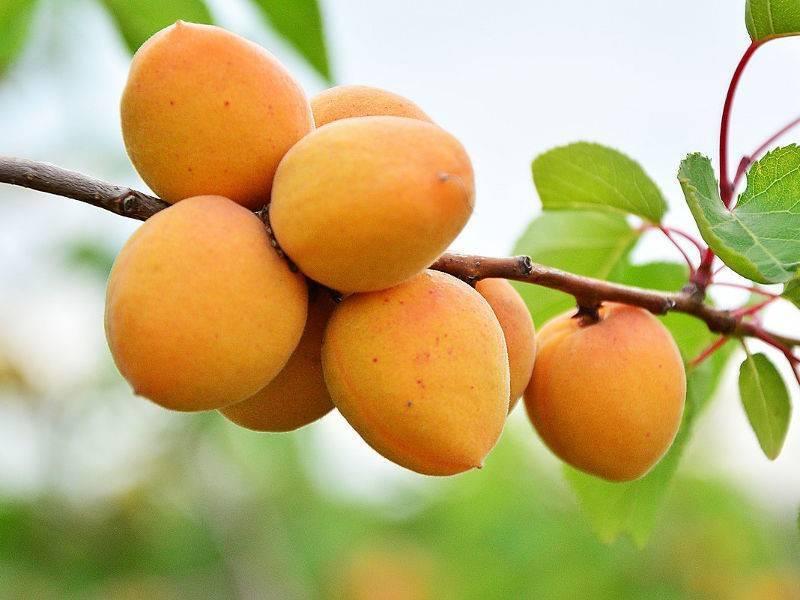 Описание сорта абрикоса царский