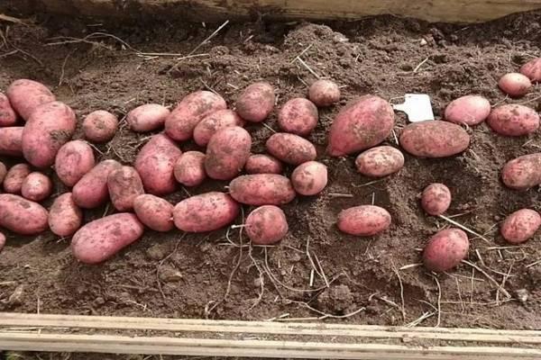 Картофель рябинушка – описание сорта, фото, отзывы