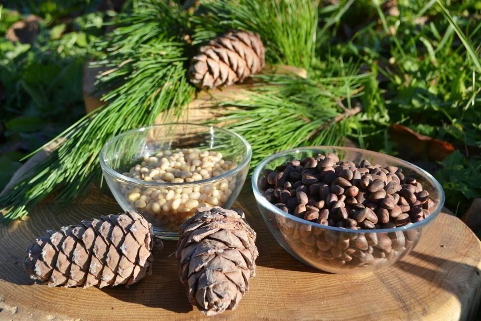 Как правильно вырастить кедр из кедрового орешка в домашних условиях