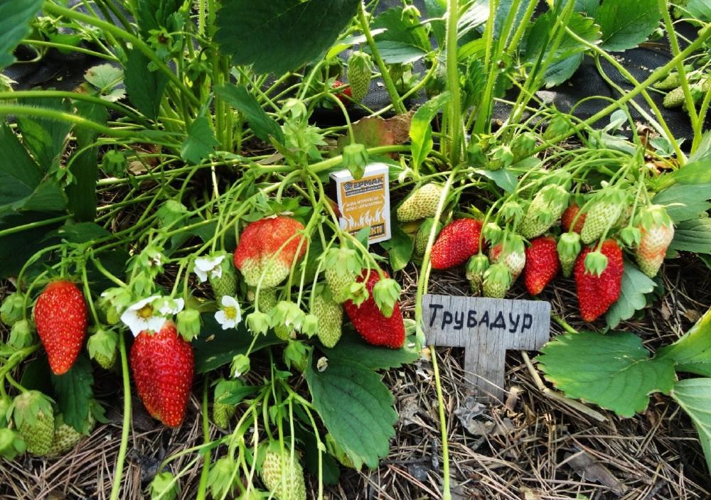 Клубника азия: описание сорта с характеристикой и отзывами, особенности посадки и выращивания, фото