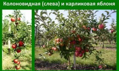 Почему не цветут яблони и не плодоносят