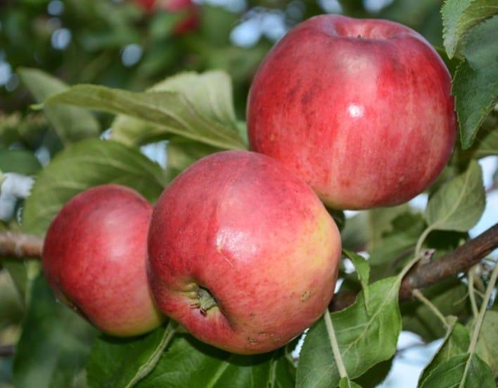 Яблоня джонатан: особенности сорта и ухода