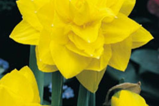 Клубника дукат: описание сорта, правила выращивания и советы по уходу