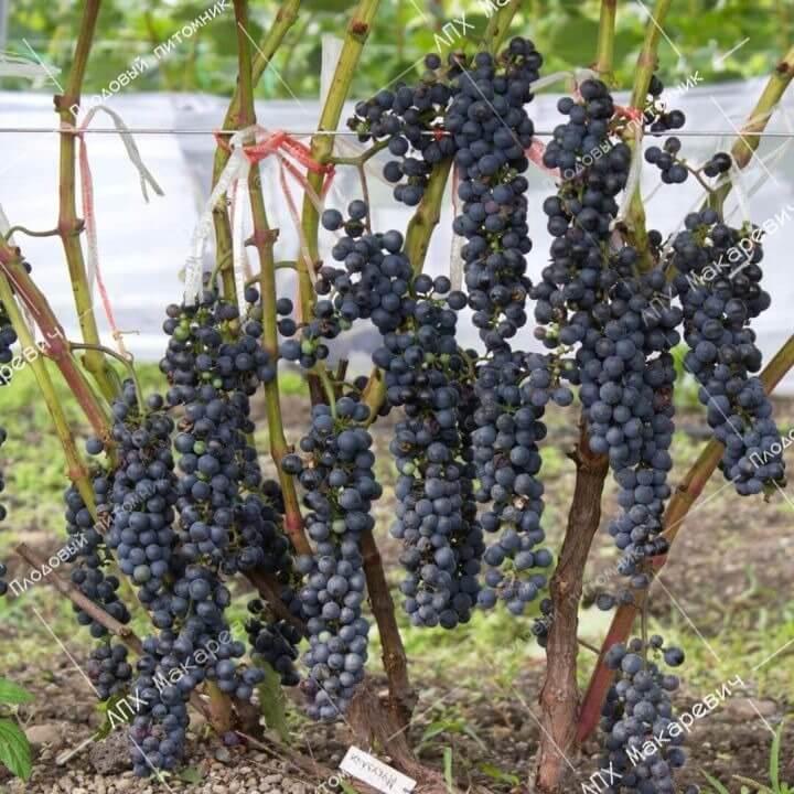 Подробное описание сорта винограда саперави
