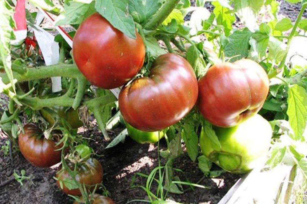 Особенности томата сорта «черный принц»: описание и нюансы выращивания