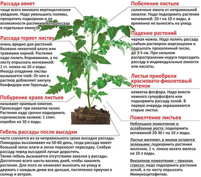Чем подкормить рассаду помидоров для роста в домашних условиях
