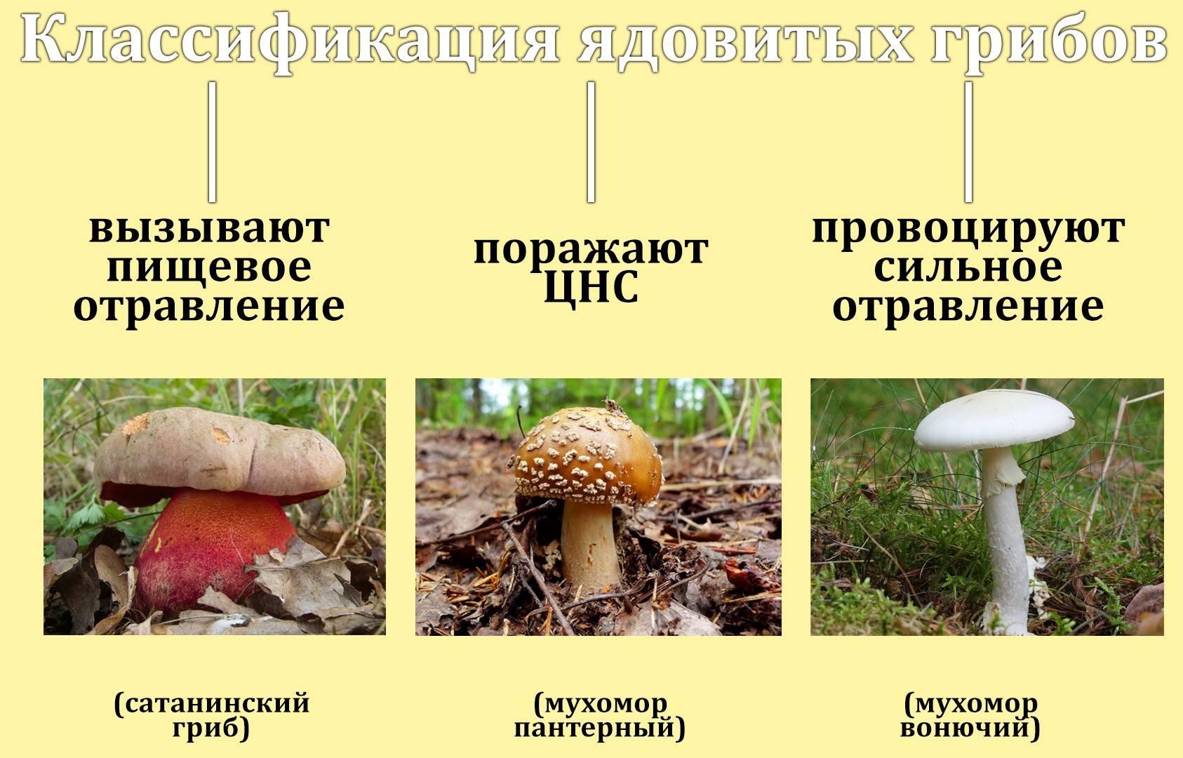 Цезарский гриб: состав, калорийность, польза, рецепты