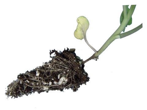 Черная ножка у капусты: как бороться, эффективные методы, видео и фото