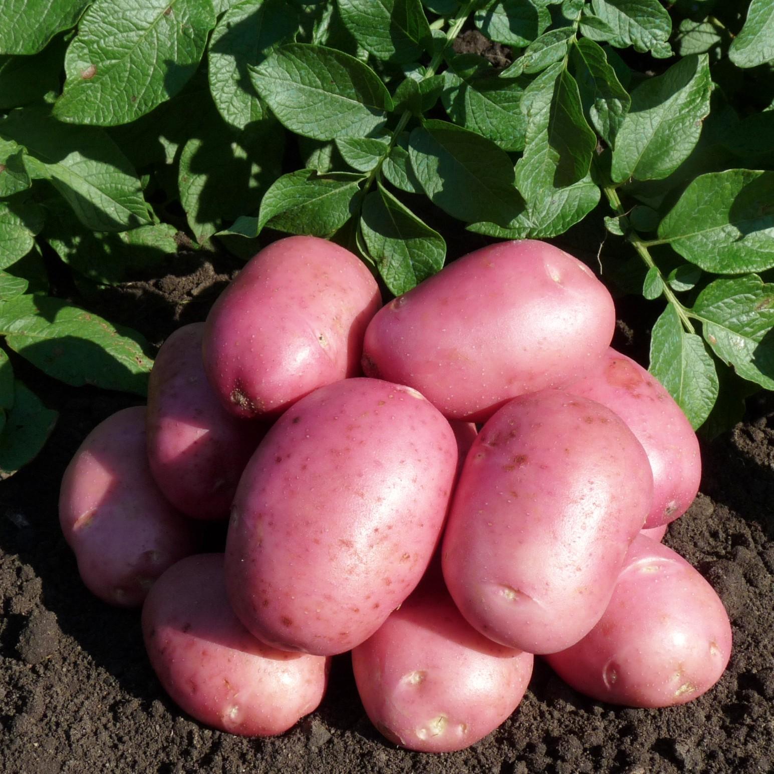 """Характеристики и описание сорта картофеля """"раннее утро"""""""