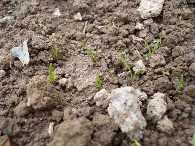 Раскрываем хитрости огородников: как сеять морковь чтобы быстро взошла