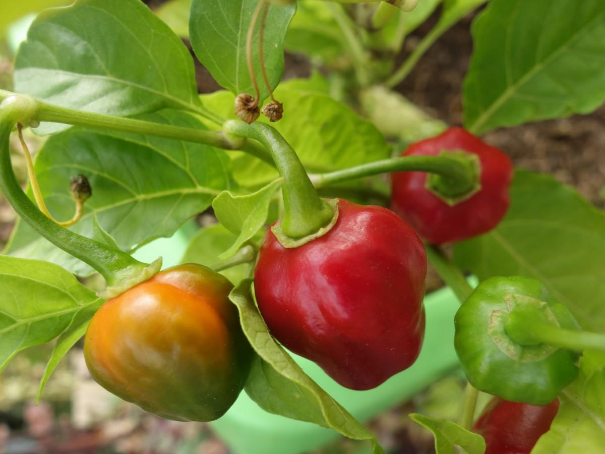 Перец хабанеро: характеристика, особенности и разновидности этого острого сорта, его преимущества и недостатки, выращивание в домашних условиях и открытом грунте