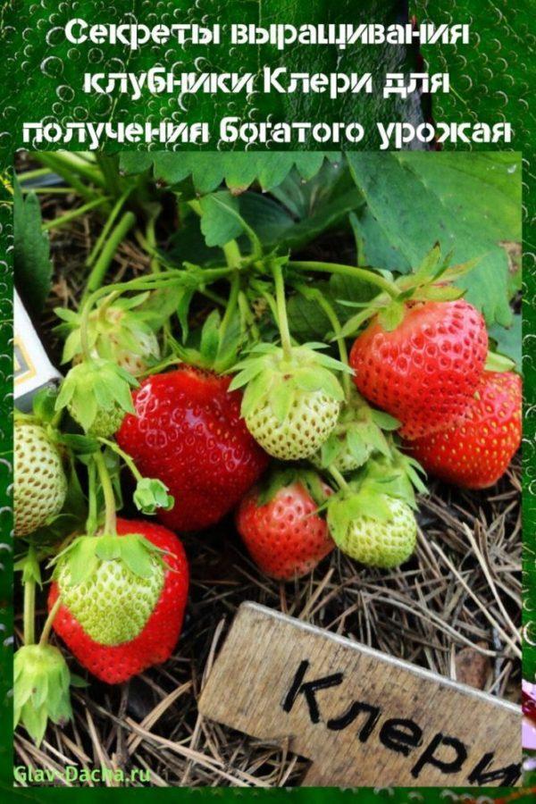 Клубника сорта клери – сладкая, вкусная и красивая ягодка