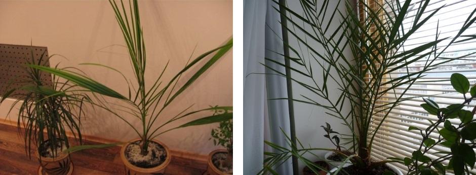 Финиковая пальма из косточки в домашних условиях - это реально? вполне! фото, инструкции selo.guru — интернет портал о сельском хозяйстве