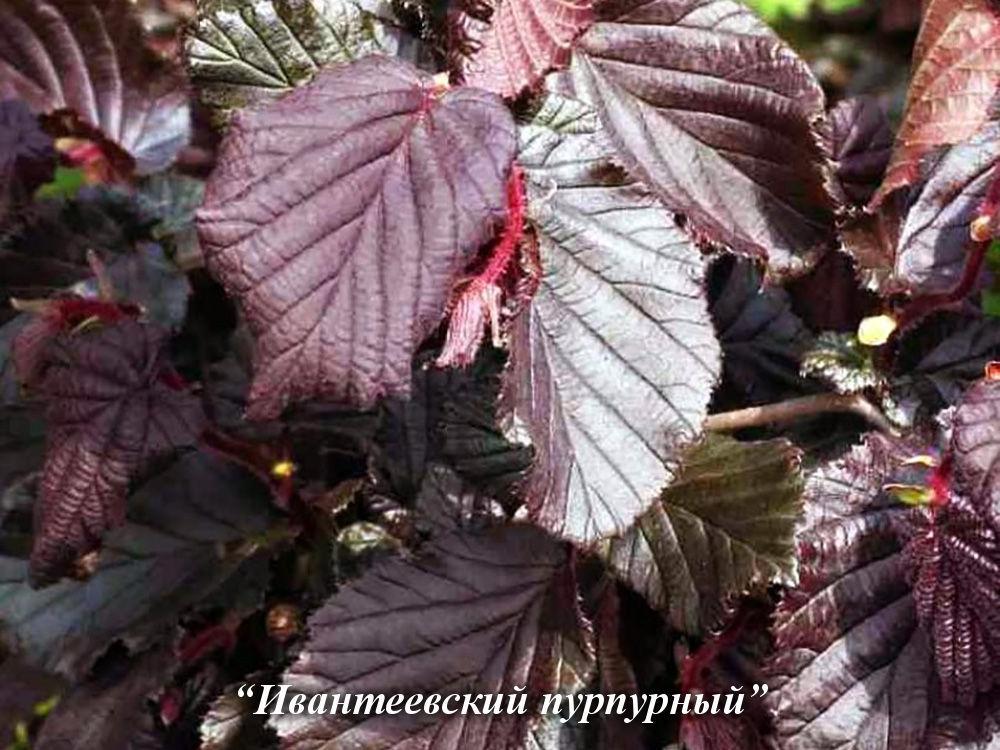 ✅ особенности посадки лещины обыкновенной и уход за ней - сад62.рф