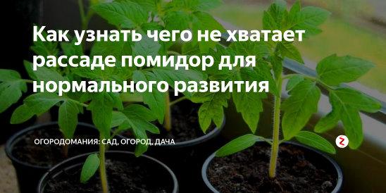 Как подкормить рассаду помидоров для хорошего урожая