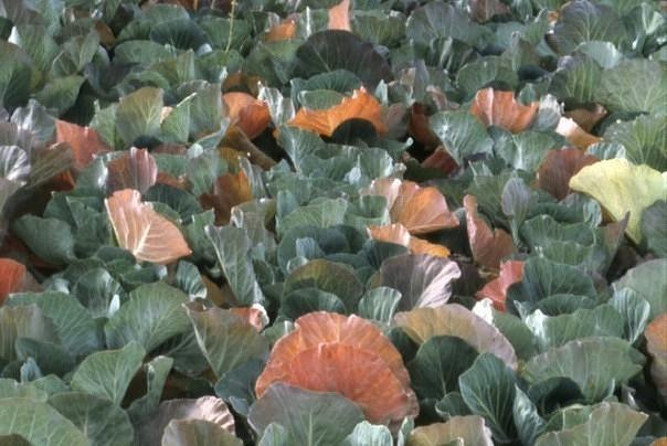 В огороде желтеет и пропадает капуста? в чем причина напасти и что надо делать?