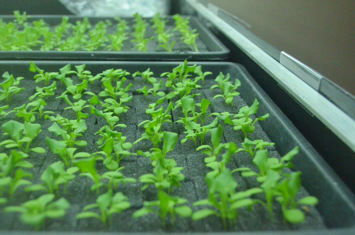 Руккола на подоконнике – как легко вырастить витамины у себя дома